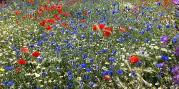 wild-flower-meadow-021.png